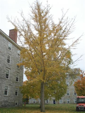 Ginkgo by Painter Hall
