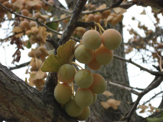 Ginkgo Fruit