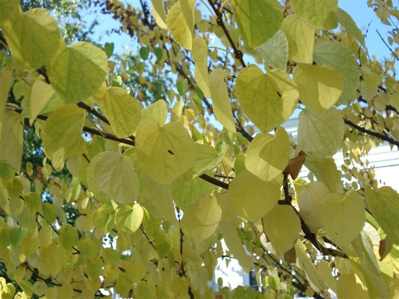 Katsura Leaves